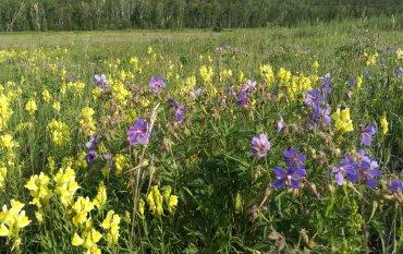 Медоносные растения Иркутской области